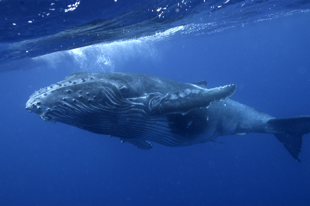 An Underwater Photographer's Guide To Humpback Whales In Tonga