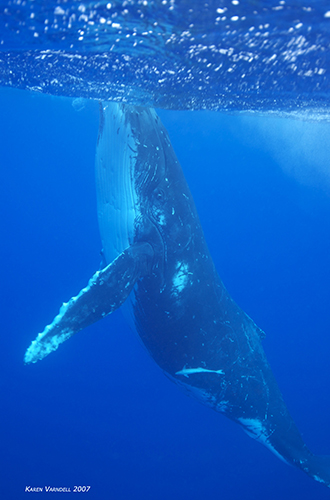 Underwater Photography Tonga Whales