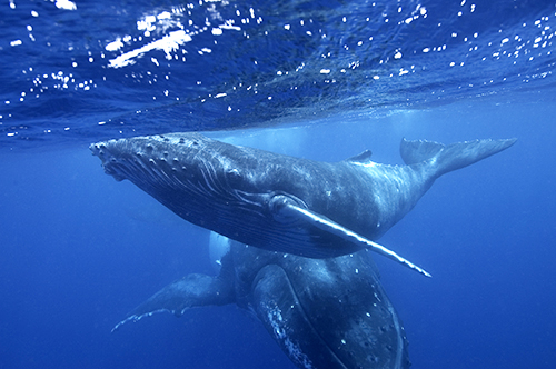 Underwater Photography Humpback Whales