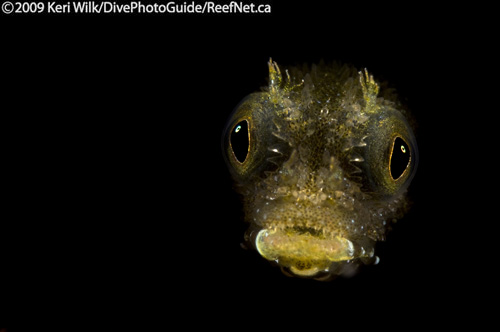 Underwater super macro blenny