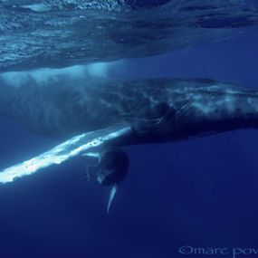 Pictures Of Whales In The Ocean. Tags: whales, humpback whales,