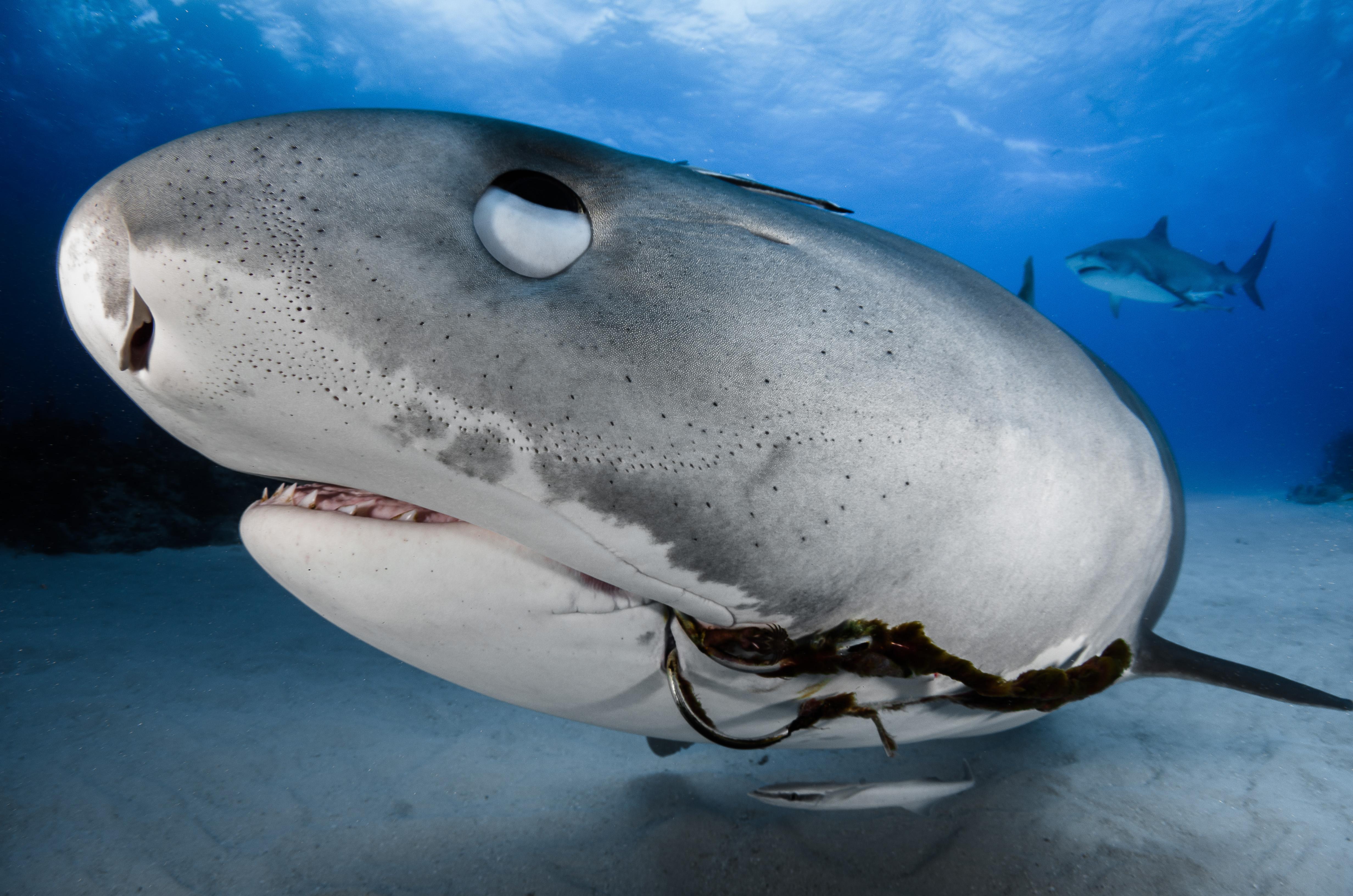 Hammerhead shark teeth