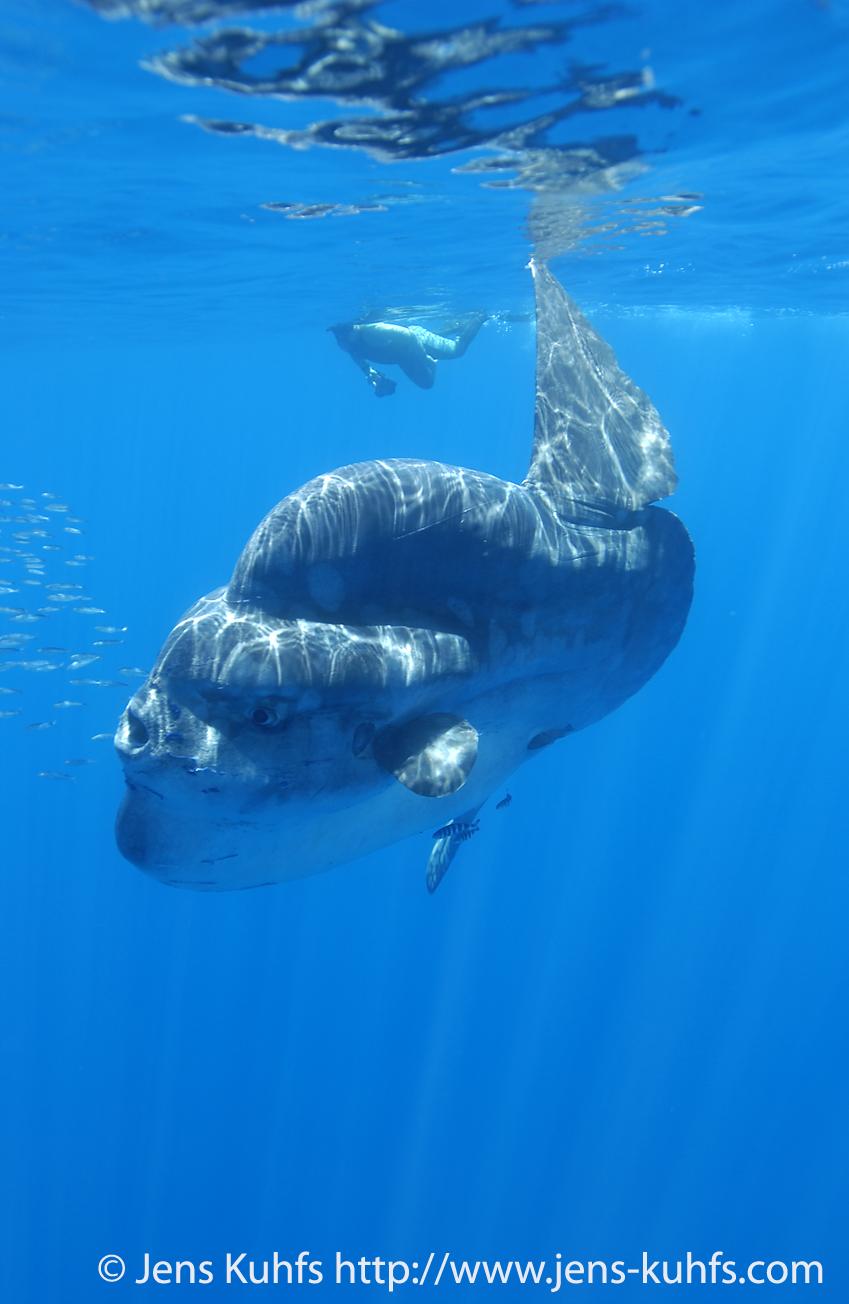 mola mola fish