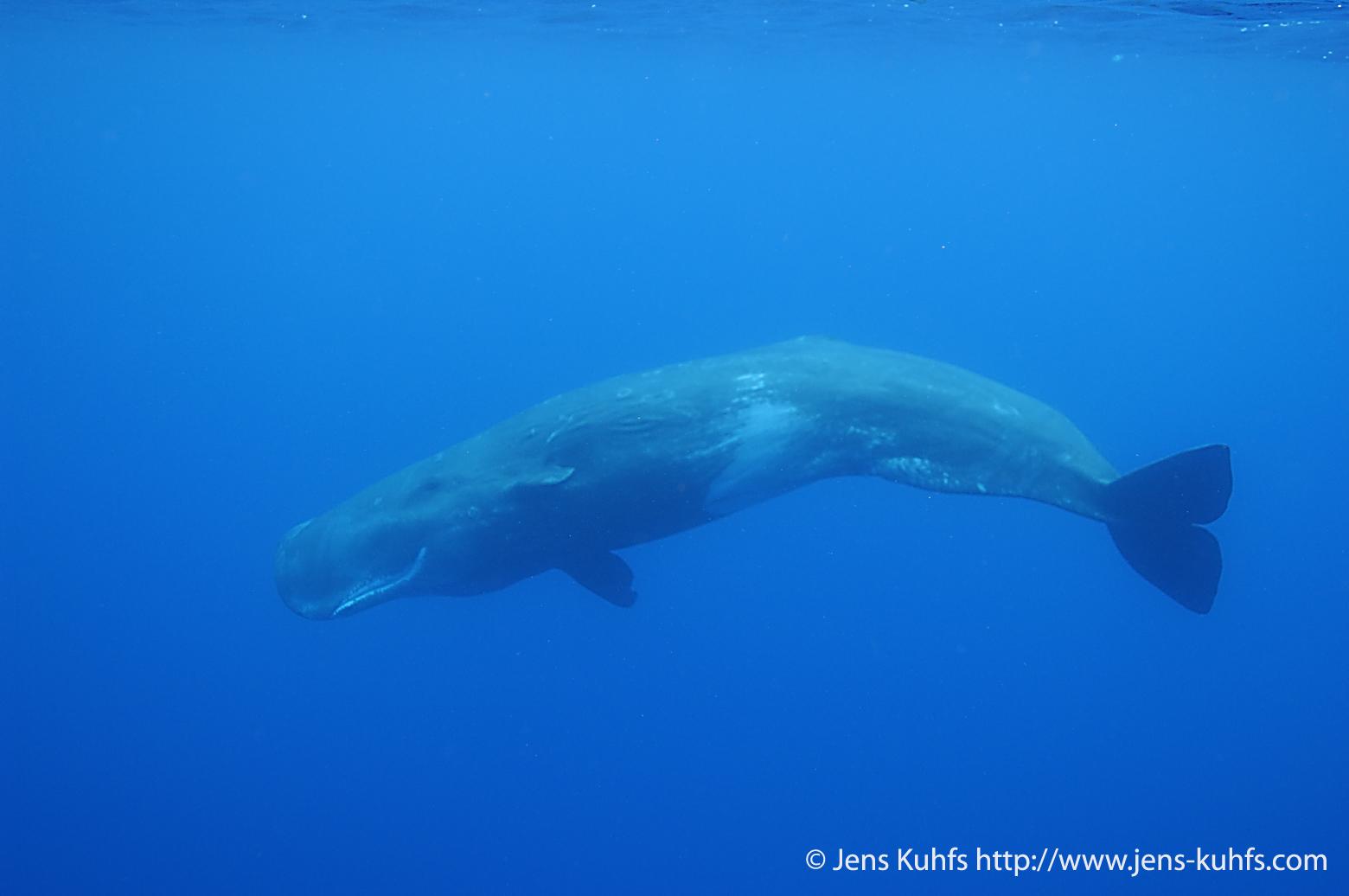 Sperm Whale Underwater