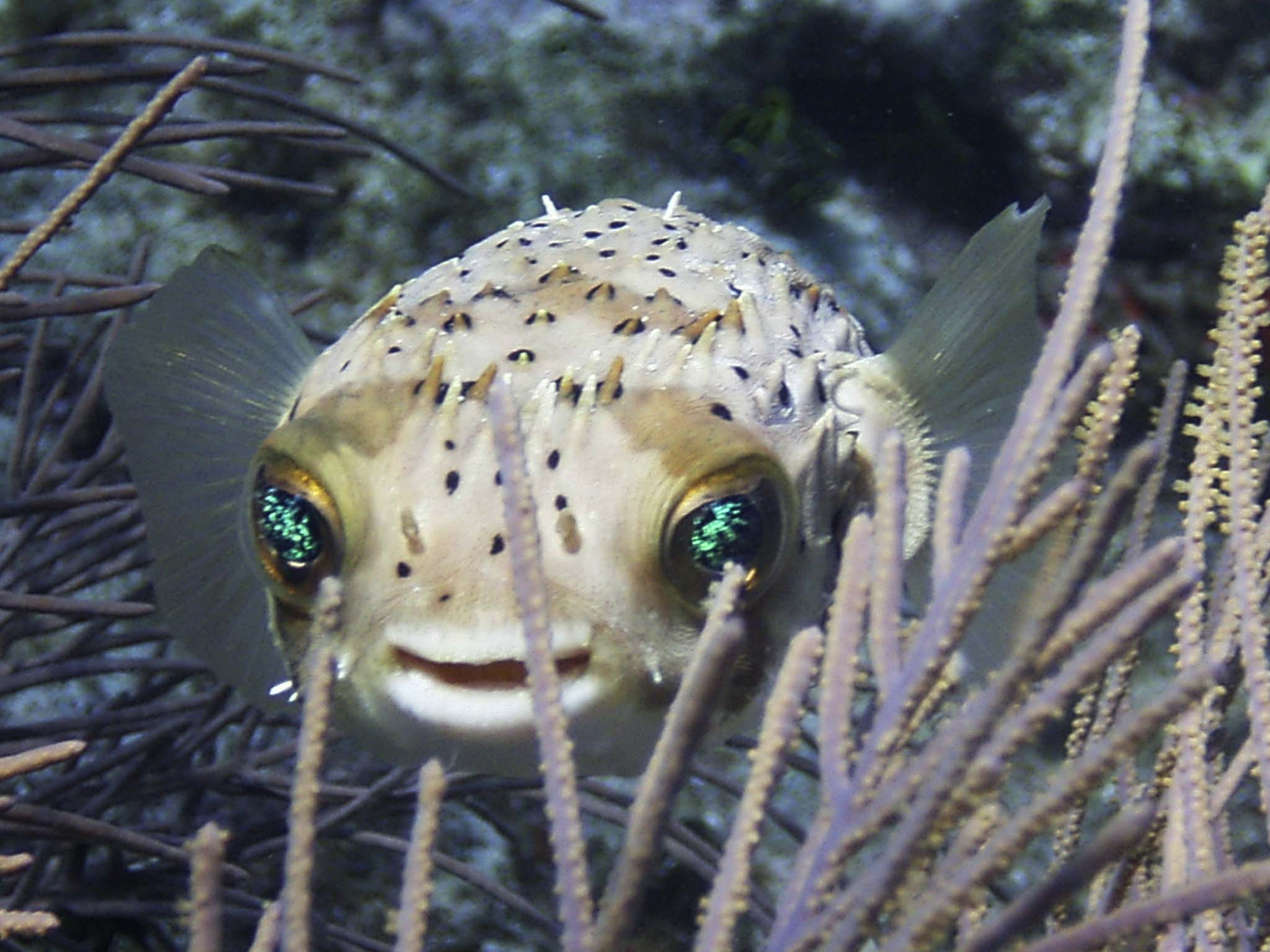 Underwater photographer terri young 39 s gallery florida for Puffer fish florida