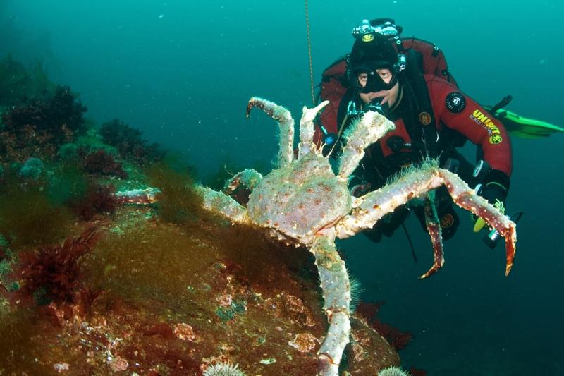 King Crab Underwater King Crab Amp Diver