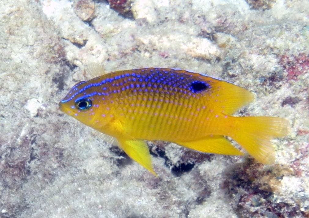 Longfin Damselfish/Stegastes diencaeus