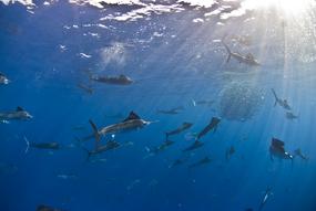 Photographing Underwater Pelagic Life