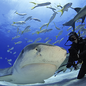 Shark Diving Photography