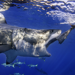 Shark Ecotourism in Guadalupe
